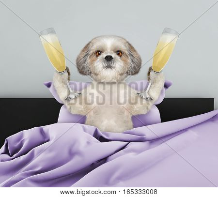 Cute shitzu dog laying in bed with champagne