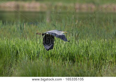 Side view portrait of natural grey heron (Ardea cinerea) flying
