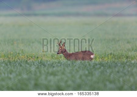 Natural young roebuck standing in green meadow