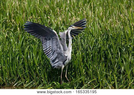 portrait of natural grey heron (Ardea cinerea) during take off