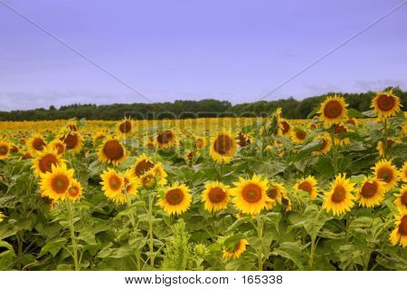 Sunflower Farm 2