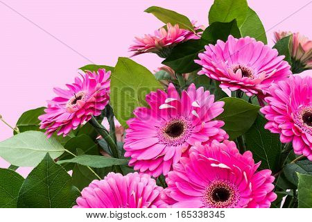 Large bouquet of pink gerberas in a gift on Valentines Day March 8 Mothers Day