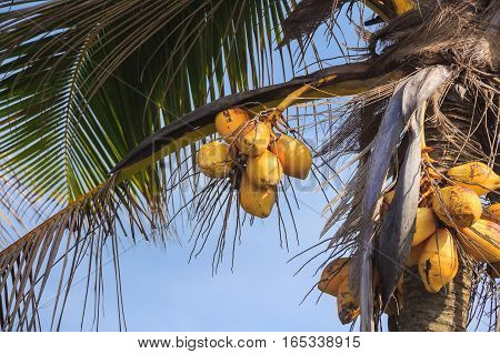 Coconut palm tree with ripe coconuts under blue sky