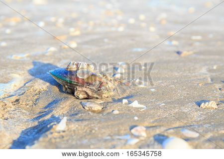 Shells or Conch on sand beach in the morning.