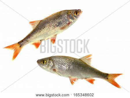 two fish roach isolated on white background