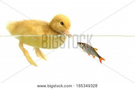 swimming nestling of baby duck and fish  on a white background