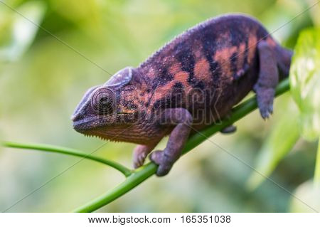 portrait of natural panther chameleon (Furcifer pardalis)