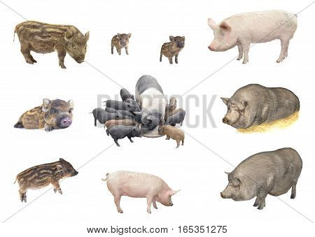 Pigs big and baby isolated on a white background