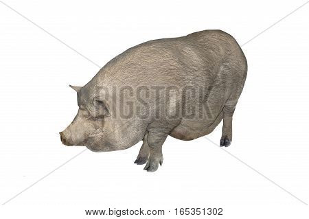 Big pig  isolated on a white background