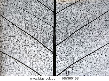 Structure of the dried leaf plant closeup. Black veins on the white background.