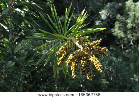 Big Grappes of Yucca Fruits with Leafs in Reunion Island