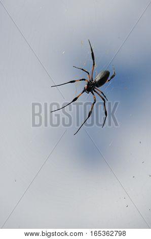 Black and Orange Nephila Inaurata Spider on her net in Reunion Island