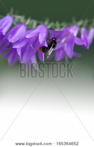 Bumble bee and bell flower. Small violet flowers on the stem. Green white gradient background. Shallow depth field, selective focus, copy space