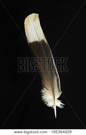 Feather of Treron waalia Bruces green pigeon isolated on black