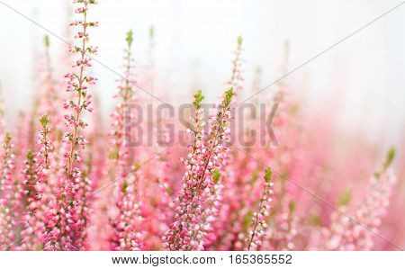 Violet Heather flowers field Calluna vulgaris. Small pink lilac plants, white background. soft focus. copy space shallow depth field.