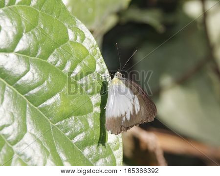 white body with brown outline wing butterfly