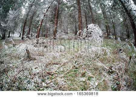 Frost in plant in winter forest. Wintertime