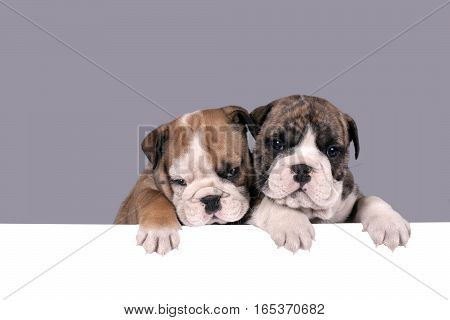 Two English bulldog puppies with paws on a message board