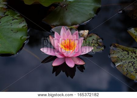 natural pink blossom of nymphaea flower with dark background