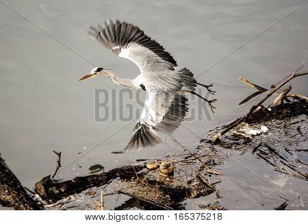 Heron bird flying over poluted river bank