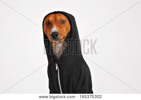 Thoughtful and frightened looking brown and white dog in black cotton hoodie with hood up looking on camera, isolated on white