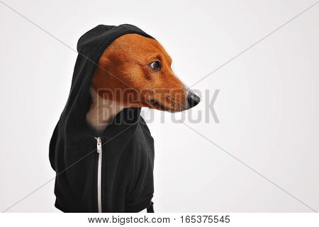 Beautiful basenji dog in black hoodie with hood on looking sideways in studio with white walls
