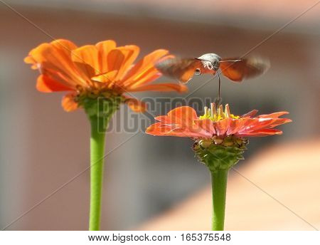 A photo of of a moth flying over the flowers and it is searching for the gist of the flowers. The photo was taken with aperture priority to ensure the background to be flu also high speed aperture value was used to capture the photo.