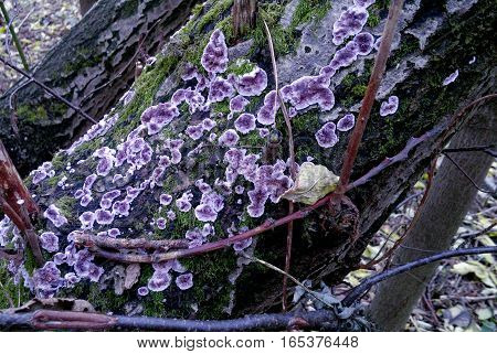 Lichen on trees of high altitude forest