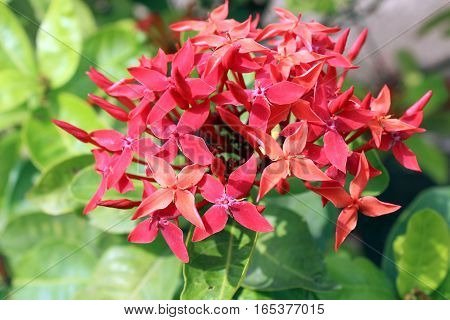 Bunch of a red flowers usually found in a hot and humid region 700 meter above sea level