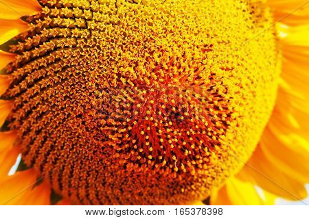Sunflower pollen with the beautiful of colors.