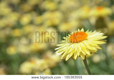 Australian native yellow Paper Daisy flower background. Also known as the Everlasting Daisy. Selective focus with bokeh background and copy space for text.