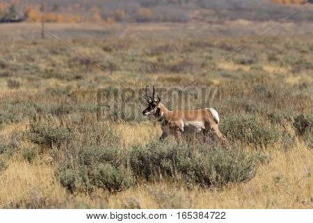 a nice pronghorn antelope buck on the Wyoming prairie
