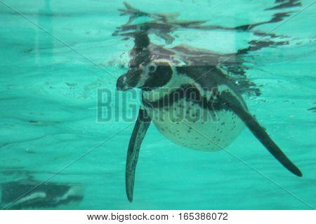 Penguin - Humboldt Penguin (Spheniscus humboldti) swims