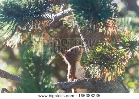 A squirrel searching something to eat in Vall de Nuria