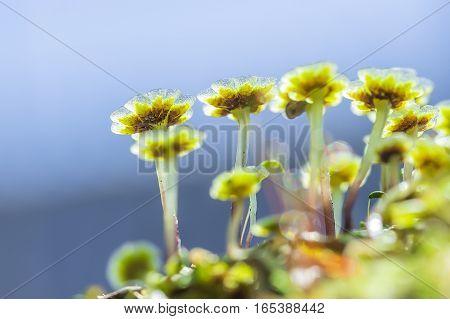 A perennial plant of Marchantia (lat. Marchantia) is a genus of perennial plants sloyevishchny family Marchantiaceae Hepatic mosses (Marchantiophyta)