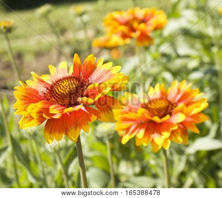 Two flowers rudbeckia in garden orange and yellow colours.