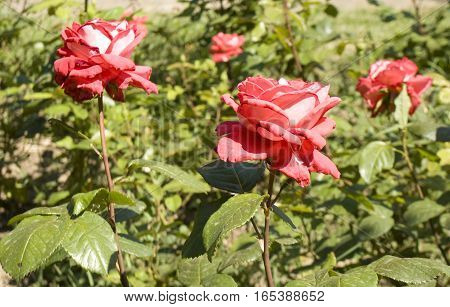 Three red roses in garden on flowerbed.
