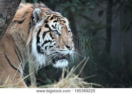 Sumatran Tiger Rare And Endagered