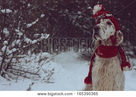 White big cute dog with bright brown spots and long hair english setter head posing in frosty winter weather wearing warm red hat and scarf on christmas and new year background in vintage style
