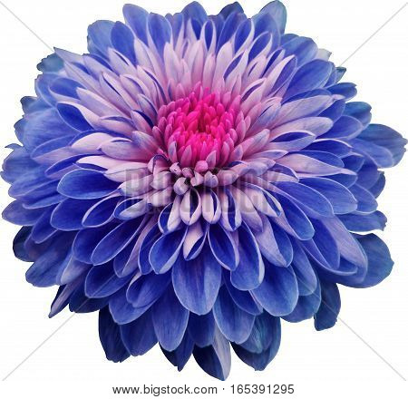 blue flower chrysanthemum  transparent isolated background with clipping path. Closeup. no shadows. Nature.