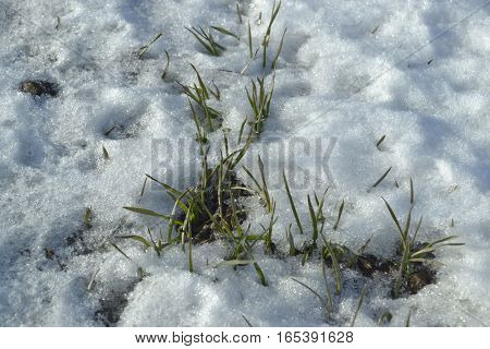 a wheat grows under snows on the field the winter