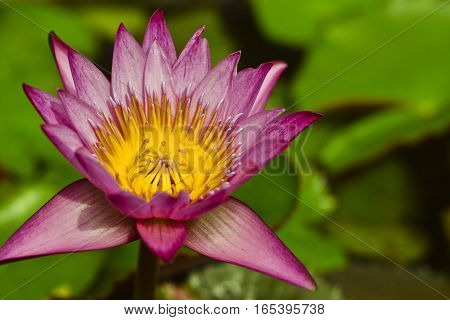 Beautiful purple lotus blossoms or water lily flowers blooming in pond lotus flower