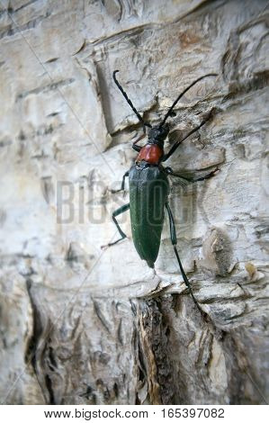 Brightly colored Longhorn beetle Leptura (Macroleptura thoracica) on bark of birch