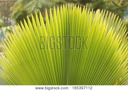 Beautiful looking wide open Palm leaf in the park