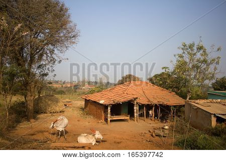 Poor Indian household (farm). House and cows in yard. Andhra Pradesh Anantapur