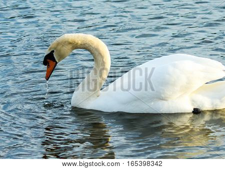 SIDE VIEW OF MUTE SWAN WITH WATER DRIPPING FROM ITS BILL WITH WINGS SLIGHTLY RAISED