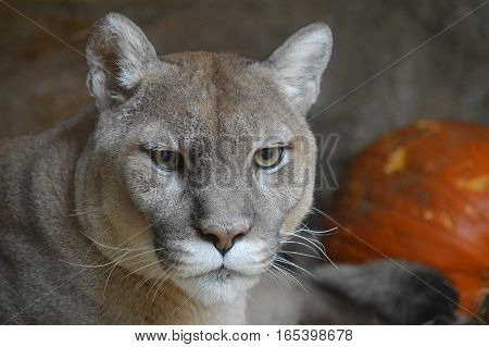 Close up of a puma laying down