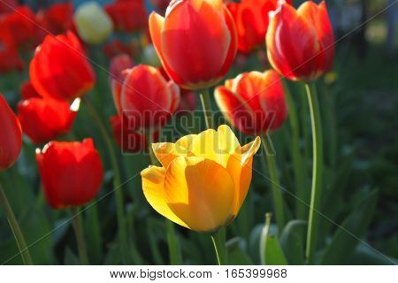 Beautiful bright red and yellow tulips closeup