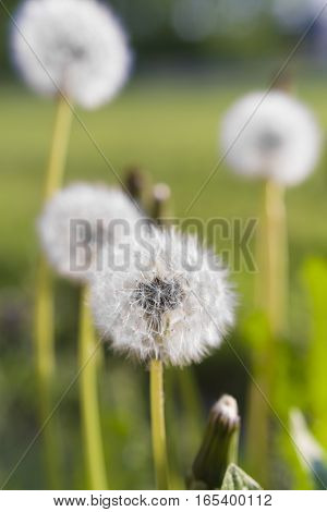 fluffy dandelions in atmospheric evening light in holland