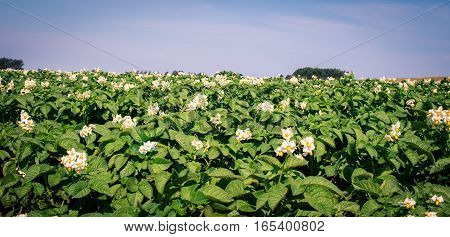 flowers on a potato plant in prince edward island